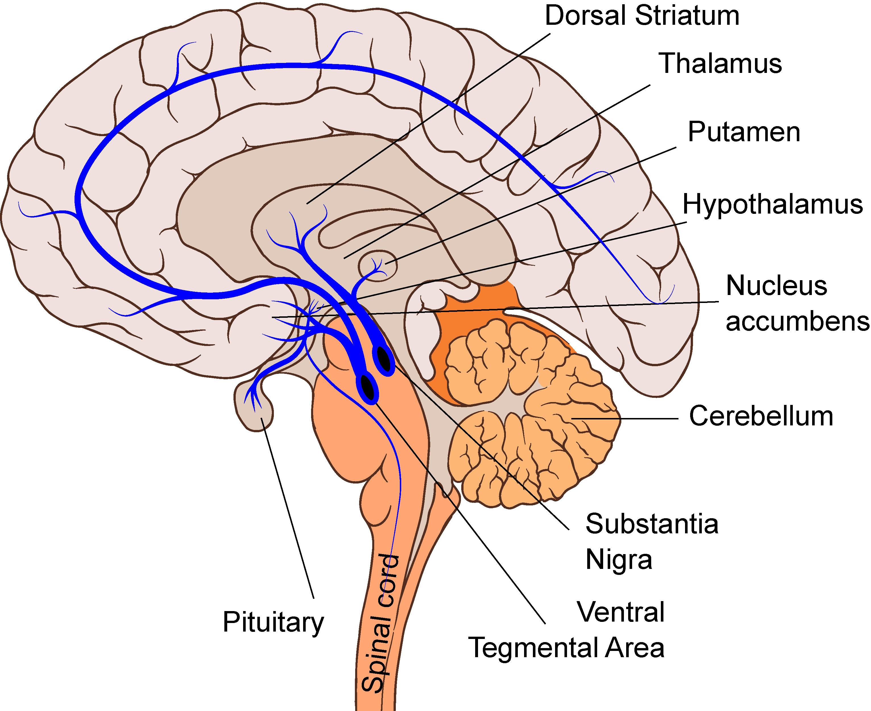 Pitt Medical Neuroscience | Monoamines