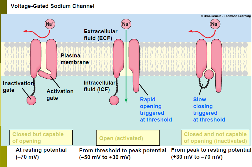 activation gate and inactivation sodium gates